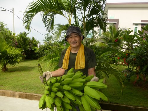 庭で採れたバナナ