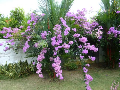 庭に咲くブーゲンビリア